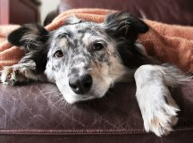 Border collie Australian shepherd dog on brown leather couch under blanket looking sad lonely bored hopeful sick curious relaxed comfortable
